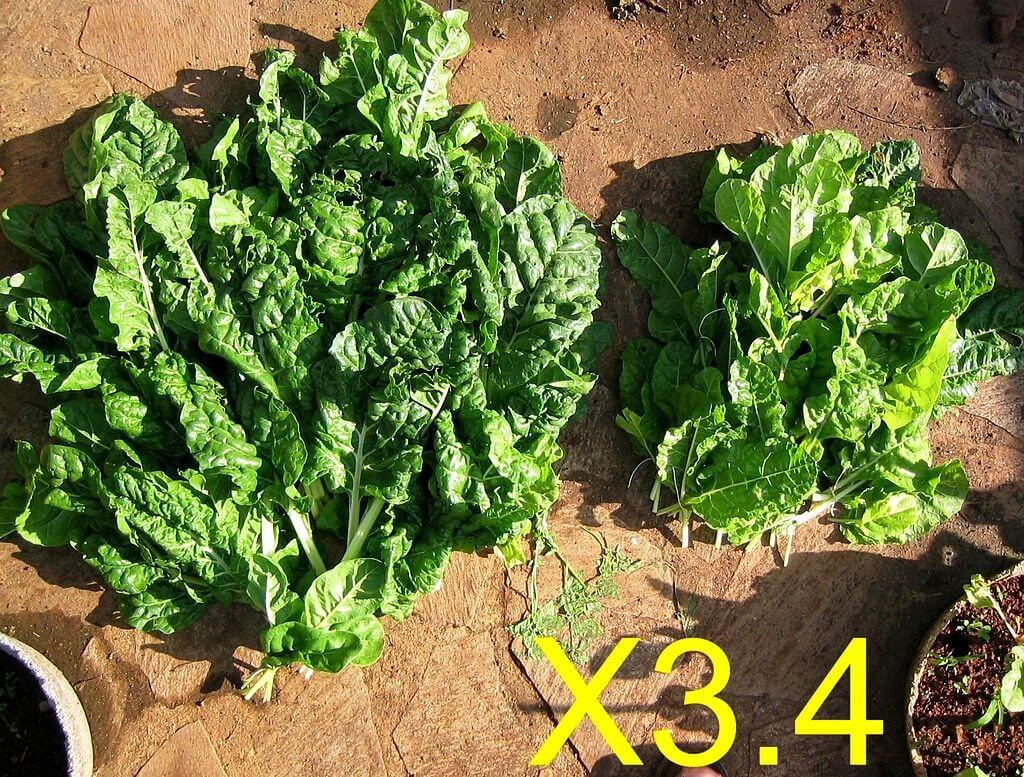 Spinach Feed Example - survival gardening