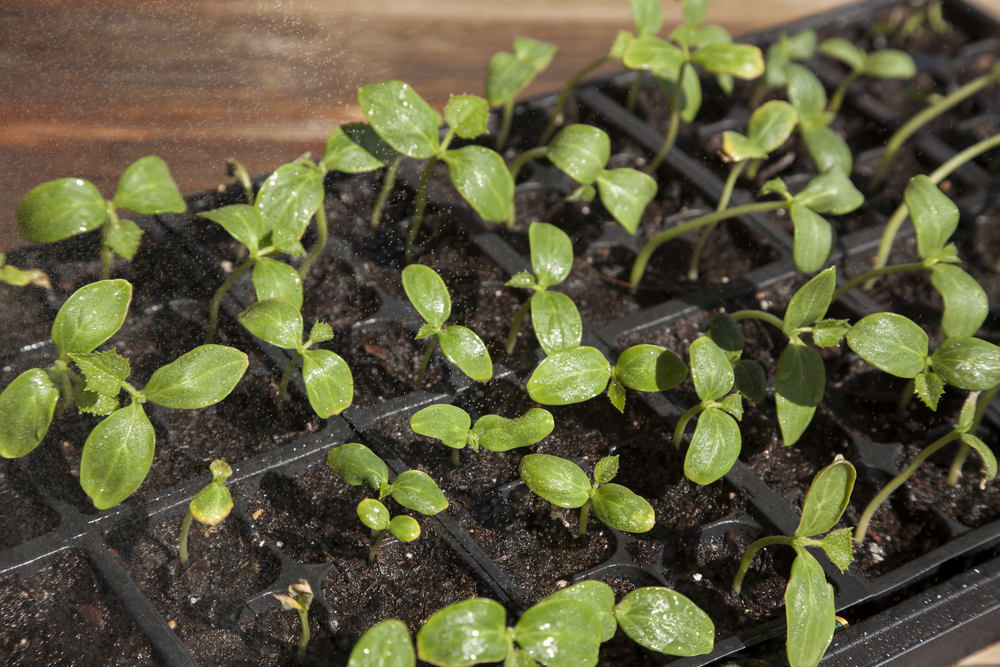 Seedlings in Plug Tray