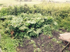 Rhubarb Patch in Need of Weeding!