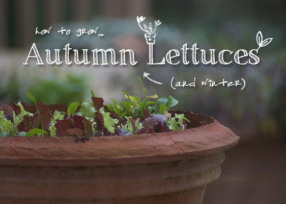 Grow autumn and winter lettuces.