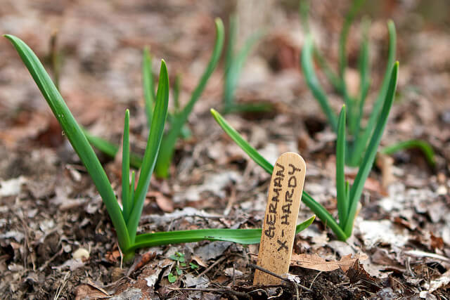 Garlic seedlings.