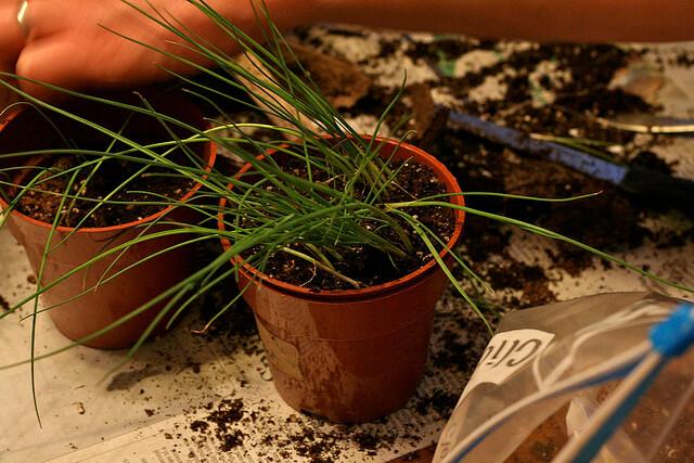 Small leek seedlings in pots.