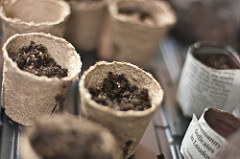 Peat and newspaper pots.