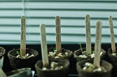 A trio of broccoli sprouts.