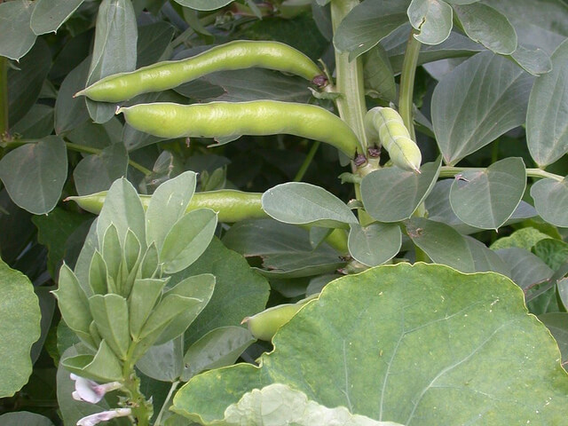 Broad beans nearly ready for harvesting.