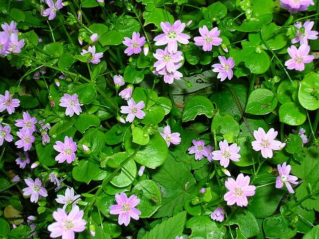Siberian purslane leaves and flowers.
