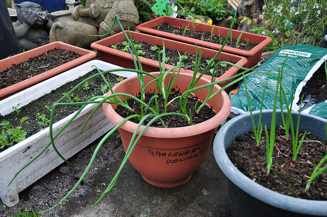 Onions in the Container Garden