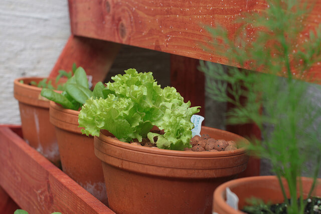 Container Lettuces