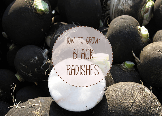How to Grow Black Radishes