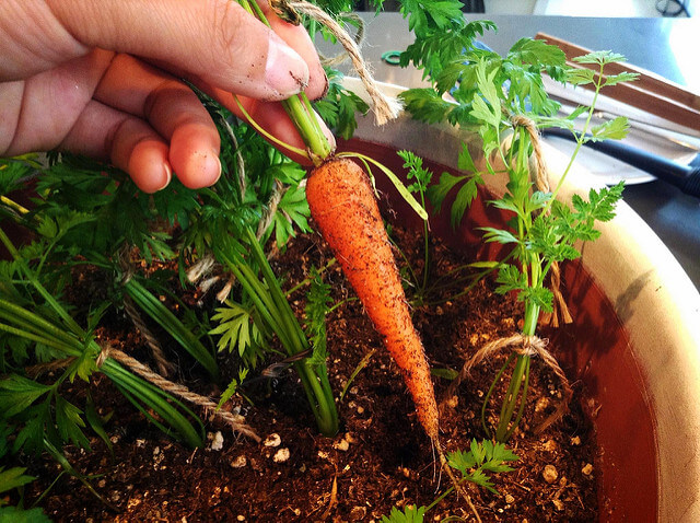 How to grow carrots in containers urban turnip - Soil for container vegetable gardening ...
